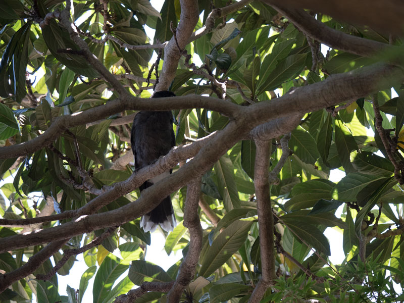 currawong-chick-2